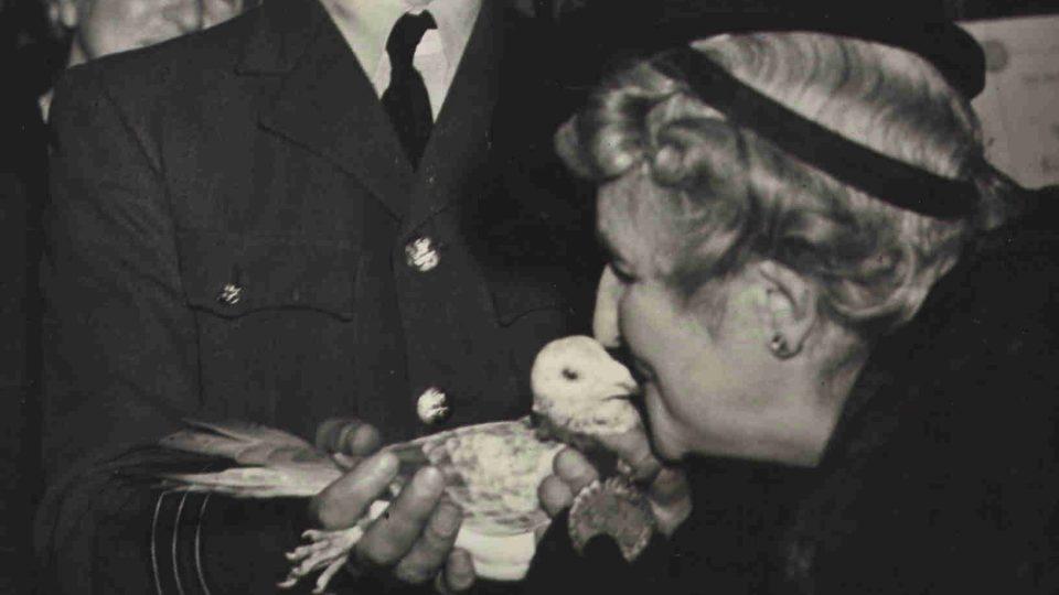 """Poštovní holub Gustav dostal 1. září 1944 """"za statečnost během invaze"""" Dickin Medal."""
