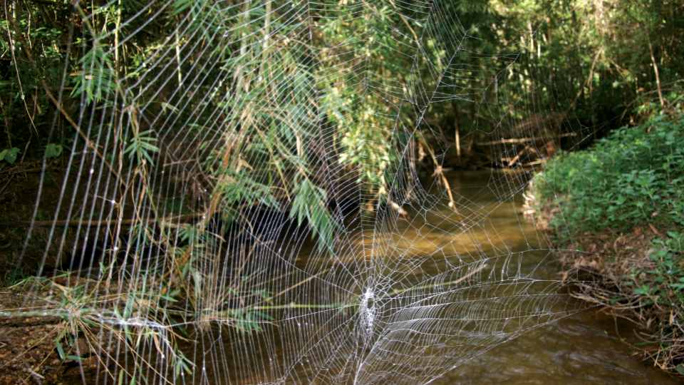 Pavučina madagaskarského křižáka Caerostris darwini