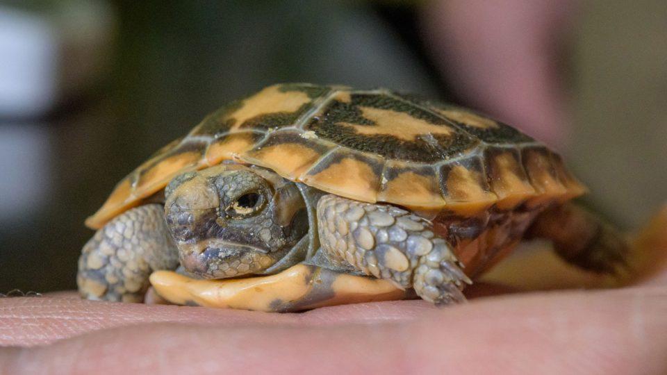 Želva skalní