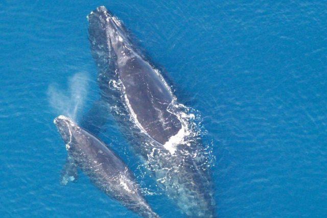 Velryba černá (Eubalaena glacialis) s mládětem