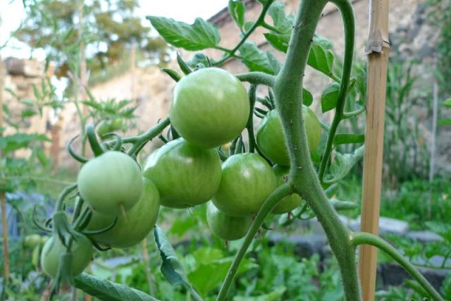 Nedozrálá rajčata