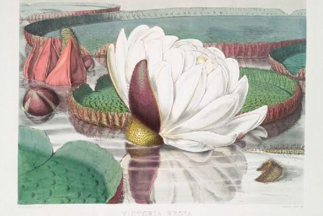 Viktorie královská  (litografie Waltera Hooda Fitche)   foto: Wikipedia,  public domain - volné dílo