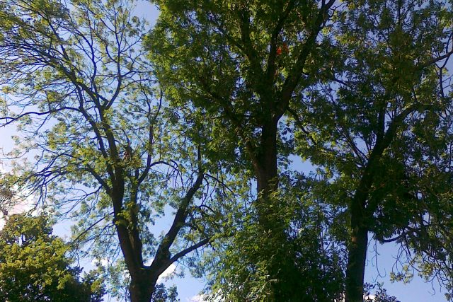 Stromy v Jihlavě procházejí velkou ozdravnou kúrou. V korunách úřadují stromolezci s motorovými pilami. | foto: Lucie Maxová
