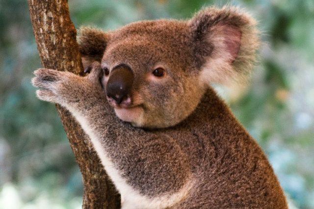 koala - koalové - koaly