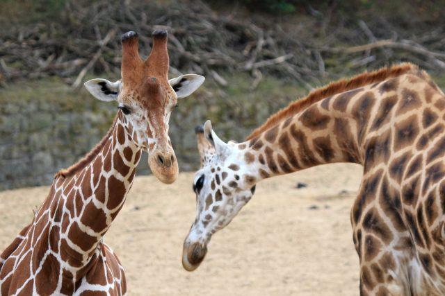 Ve výběhu u Safari kempu v ZOOlogické zahradě ve Dvoře Králové nad Labem máte jedinečnou možnost porovnat markantní rozdíl mezi žirafou síťovanou a Rothschildovou