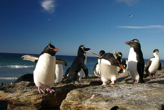 Tučňáci skalní (Eudyptes chrysocome) na Falklandech