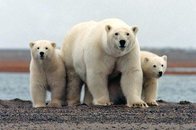 lední medvědi, medvěd