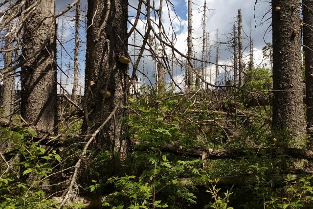 Jsou zbraní proti suchu smíšené lesy?   foto: Pavel Halla