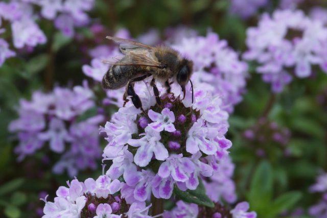 Tymiánový med obsahuje prý přes 100 látek posilujících lidskou imunitu a psychiku   foto: Zdroj: Flickr,   CC BY-SA 2.0,   Miala