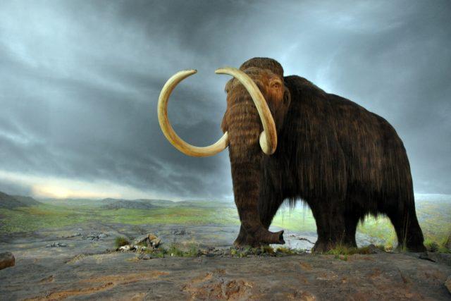 Model mamuta v muzeu v kanadské Victorii