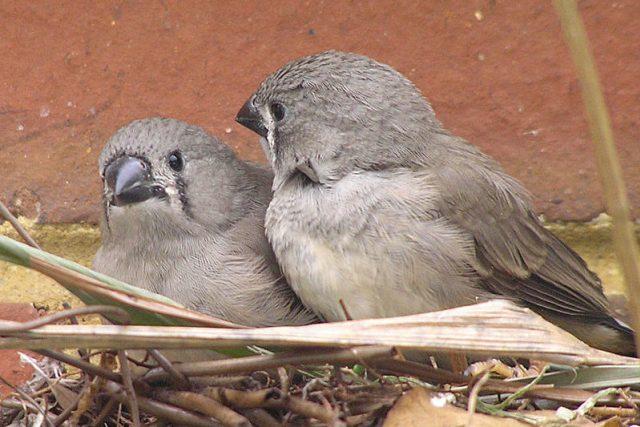 Ptáčata zebřičky pestré  (Taeniopygia guttata)
