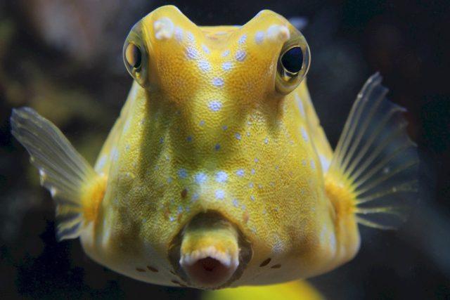 ryba rohatý boxfish