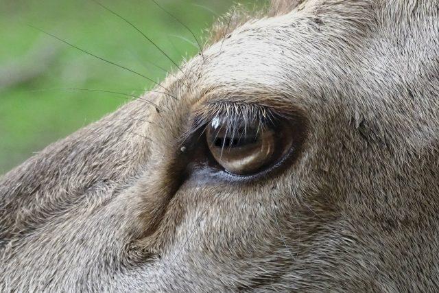 jelení zrak