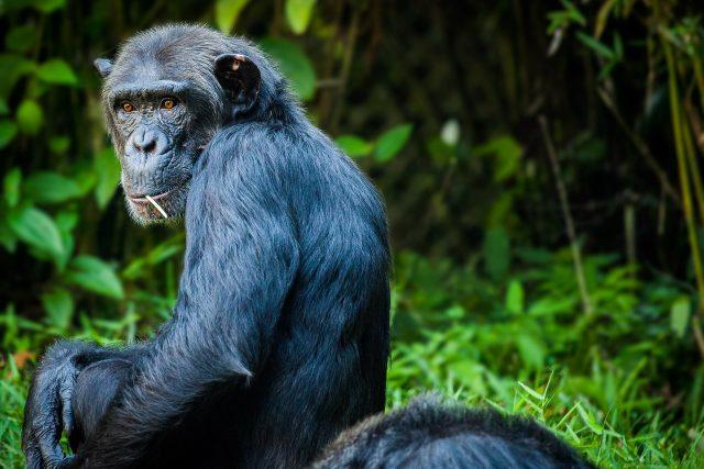 šimpanz