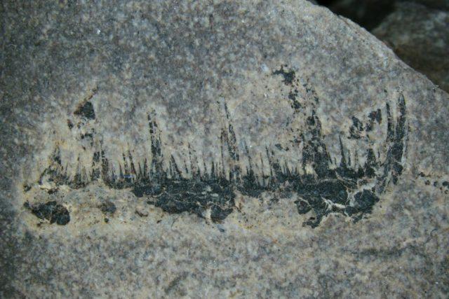 Detailně vyfocené klepeto Angustidonta