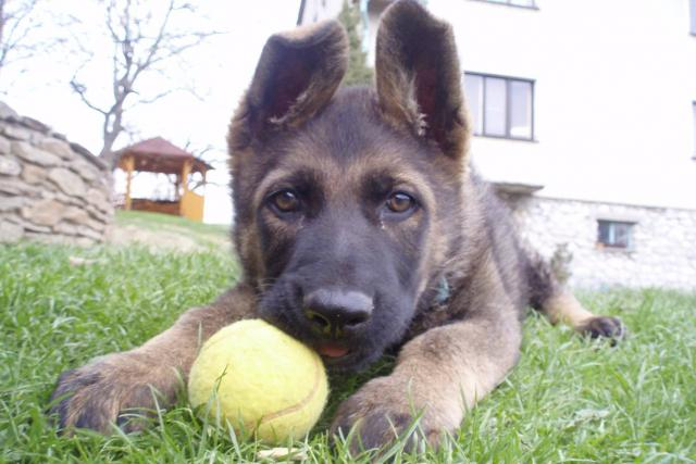 Co má toto štěně společného s vlkem?