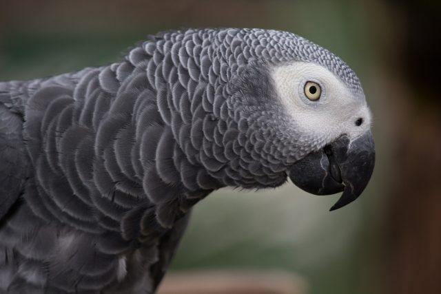 Papoušek šedý