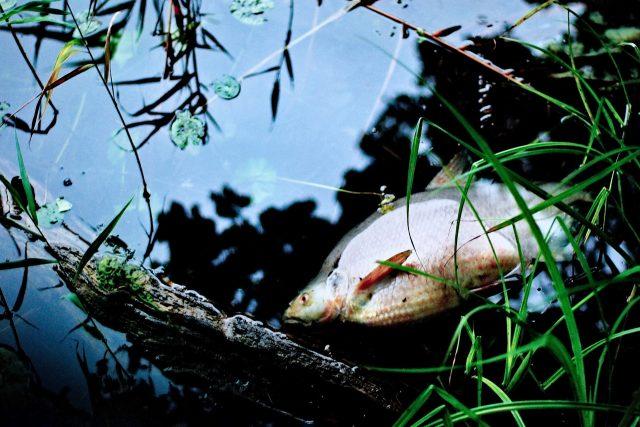 """Systém jede na hranici svých možností, ve vodě je tak tak kyslíku, aby to ryby přežily. A pak když je ho tam o něco méně, udusí se sto tisíc tun ryb,"""" varuje biolog a ekolog David Stroch."""