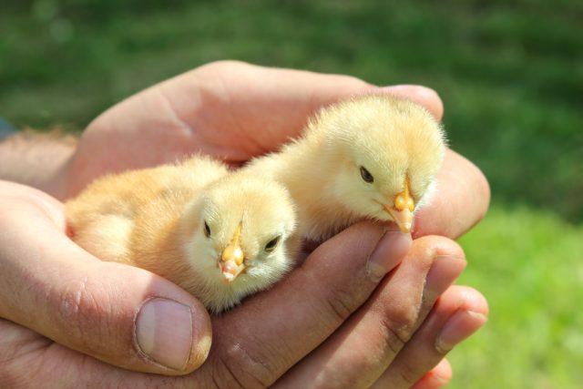 kuře, jaro, Velikonoce