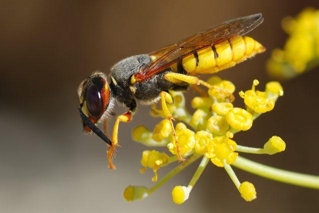 Květolib včelí