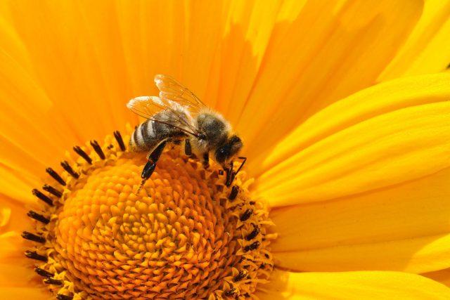 Včela (ilustrační foto)