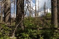Pod suchými stromy už roste zdravý smíšený les